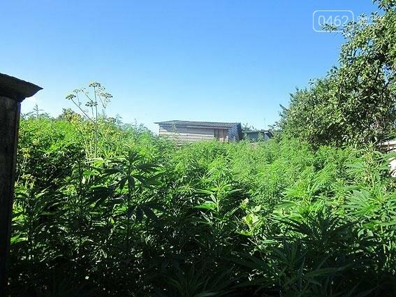 Житель Черниговщины на огороде вырастил элитной конопли на 2 миллиона, фото-2