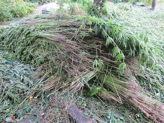 Житель Черниговщины на огороде вырастил элитной конопли на 2 миллиона, фото-4