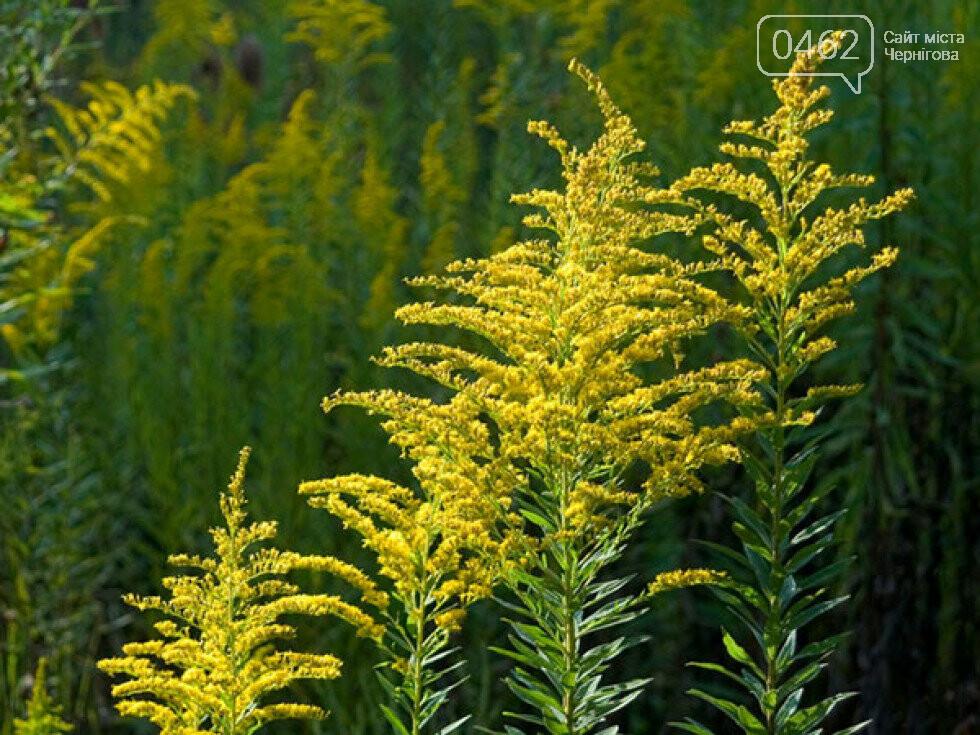 У Чернігові перевірять парки та сквери на наявність небезпечної рослини, фото-1