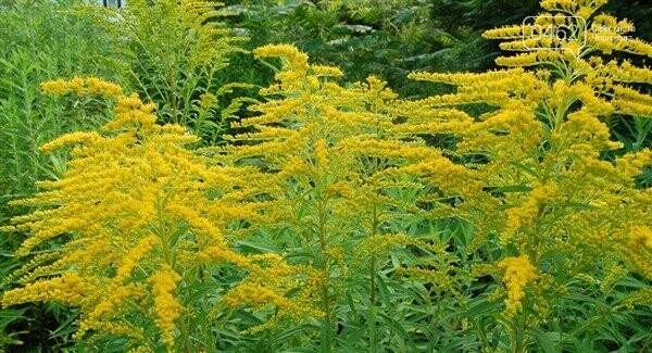 У Чернігові перевірять парки та сквери на наявність небезпечної рослини, фото-2