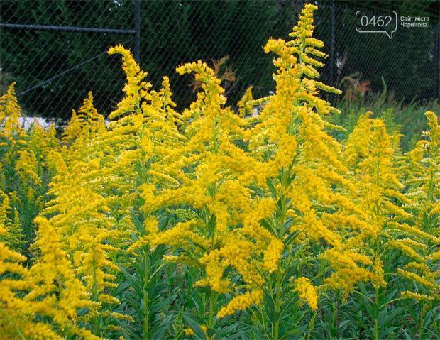 У Чернігові перевірять парки та сквери на наявність небезпечної рослини, фото-3