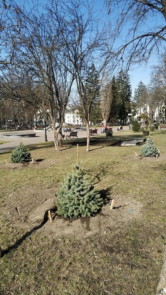 У сквері Богдана Хмельницького висадили нові ялинки, фото-2