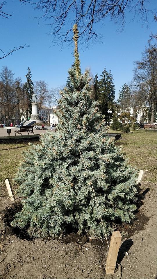 У сквері Богдана Хмельницького висадили нові ялинки, фото-3