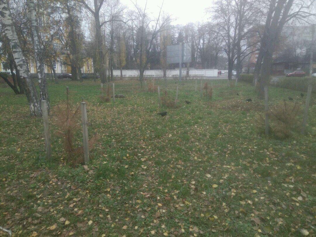 Кримські сосни не для Чернігова?, фото-2