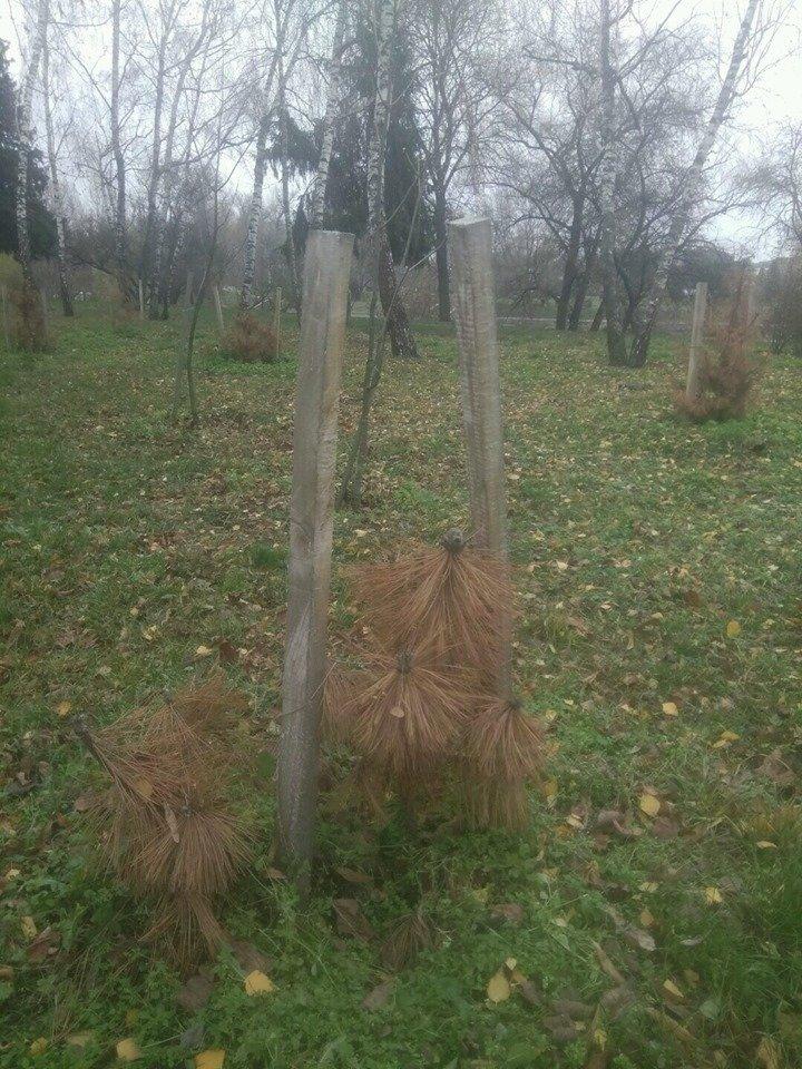 Кримські сосни не для Чернігова?, фото-3
