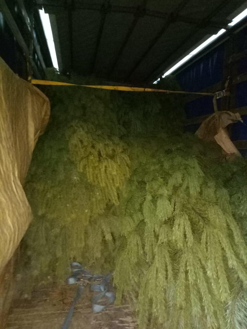 Новогодняя торговля: черниговские пограничники задержали грузовик с соснами, фото-1