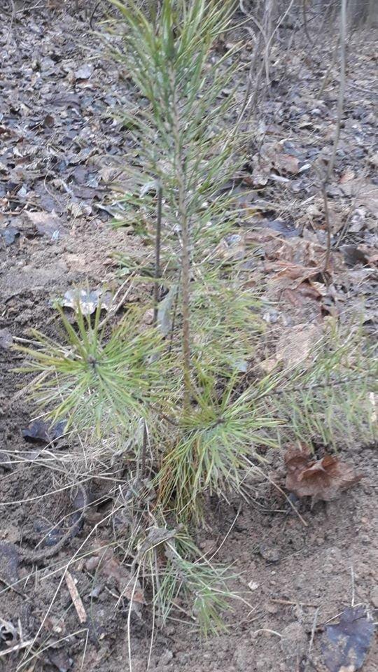 Зимове озеленення: в чернігівському парку висадили 15 сосен, фото-1