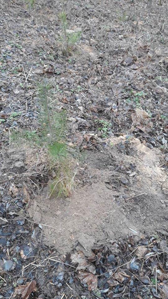 Зимове озеленення: в чернігівському парку висадили 15 сосен, фото-2