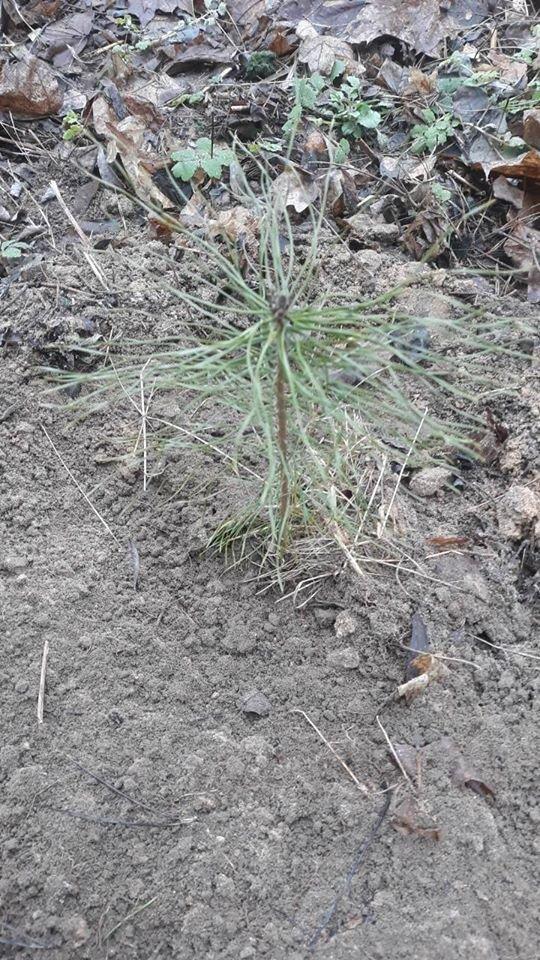 Зимове озеленення: в чернігівському парку висадили 15 сосен, фото-4
