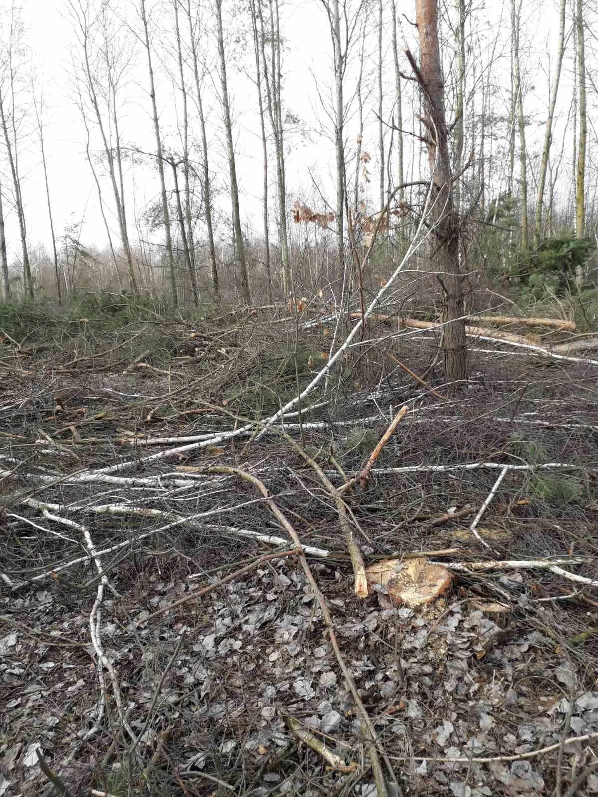 """Больше 400 тысяч гривен ущерба: """"чёрные"""" лесорубы побывали в заповеднике на Черниговщине, фото-1"""