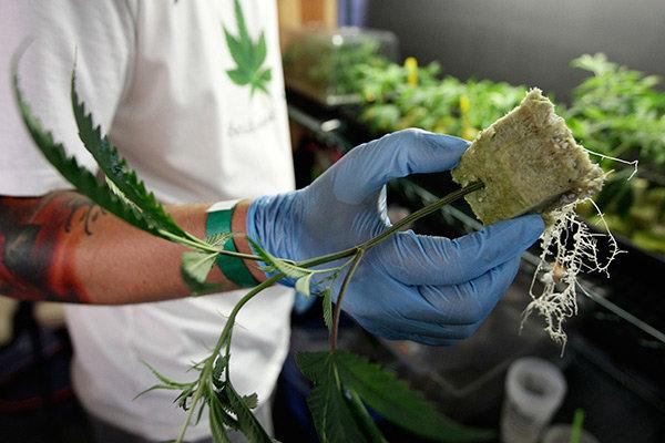 Особенности выращивание конопли купить марихуану авито